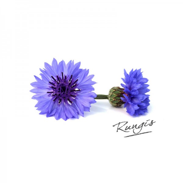 Kornblumen blau frisch