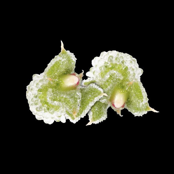 """BlinQ Blossom """"Koppert Cress"""""""