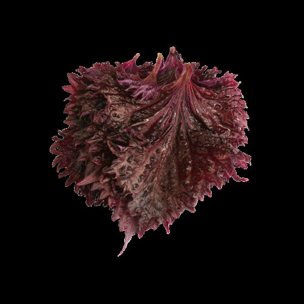 """Shiso Blätter purple """"Koppert Cress """""""